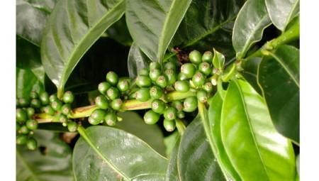 Противопоказания к зеленому кофе для похудения