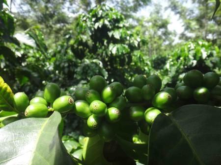 Действие зеленого кофе на организм